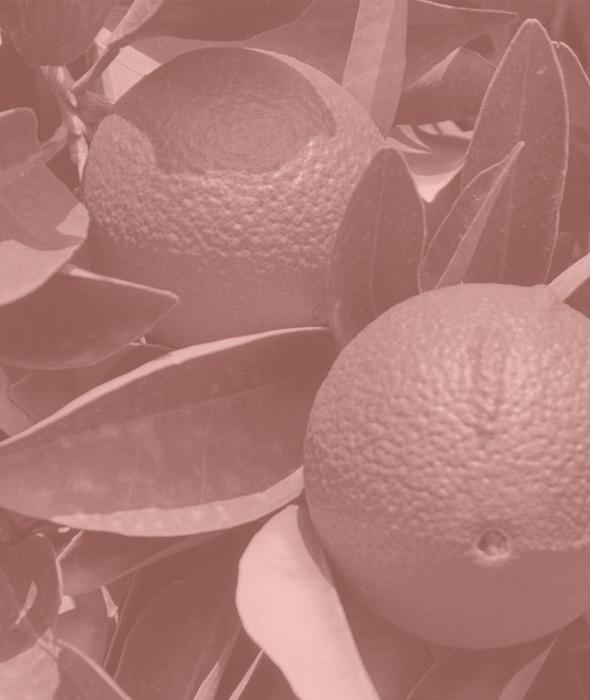 03-bergamotto-belforte