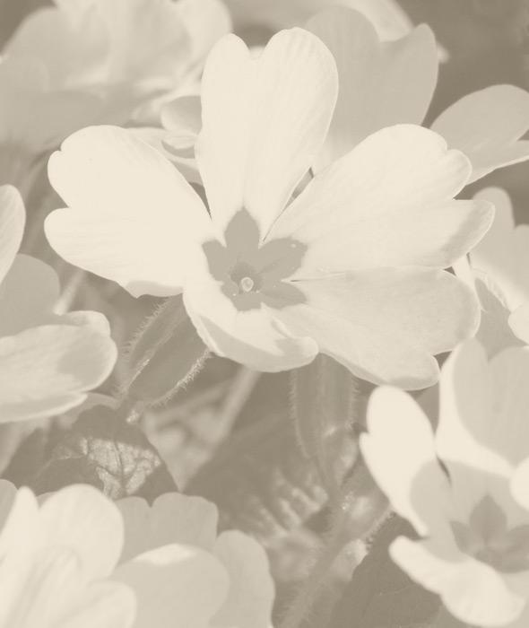 03-primula-bianca-belforte