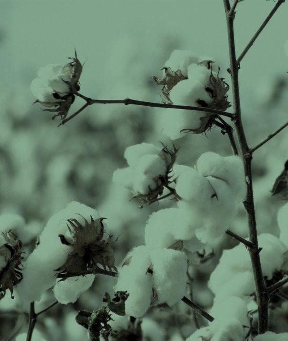 02-cotone-canapa-belforte
