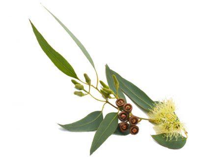 03-eucalipto